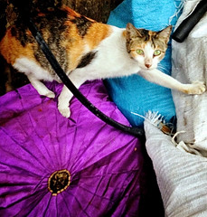 Cat Climbing Purple Umbrella (mikeeliza) Tags: camera orange kite black cute umbrella cat kat chat looking purple tabby over may climbing pa gato gata kit cath cica gatto poes kot kats kedi kass koshka katt kato miu felis kissa ket pusa gati busi meo paka miw kocka cattus giat gujarati macka lookingatcamera maow muca pussi katinas biladi chatz mascka catua kitska ikati kot