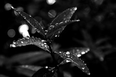 Droplets (Doodles N' Dabbles) Tags: blackandwhite plant water leaves rain dewdrops droplets bokeh raindrops waterdrops {vision}:{plant}=0533 {vision}:{sky}=082 {vision}:{mountain}=0718 {vision}:{clouds}=0906 {vision}:{flower}=0725