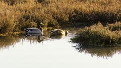 Mallard Drake and Hen (rschnaible) Tags: california ca water river bay duck pond san francisco stream natural native ducks east wetlands environment mallard marsh shallow drake hen wetland shallows