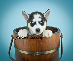 Husky Blues (Jaime401) Tags: blue blackandwhite dog pet baby cute beautiful animal puppy photography bucket eyes furry husky pretty fuzzy sweet adorable canine peek pooch domesticanimals peeking affectionate bluebackground