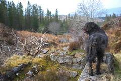 Dougal (Mrtainn) Tags: dog chien skye co cane scotland highlands isleofskye alba hond escocia perro hund pies kutya labradoodle alban szkocja hundur suns pes esccia dougal schottland schotland ecosse anjing scozia kopek skottland  koira skotlanti skotland koer broskos uo cine esccia anteileansgitheanach skcia albain iskoya c    gidhealtachd eileansgitheanach scoia