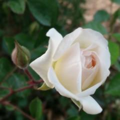 ورده بيضاء (jordan man) Tags: white flower nature spring amman jordan الربيع ورد جمال عمان ورده طبيعه بيضاء الاردن flickrandroidapp:filter=none