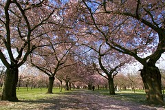 Cherry blossom at Schlosspark Schwetzingen (trg.photos) Tags: pink trees color colors beautiful cherry spring blossom cherryblossom schlosspark schwetzingen