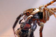 Salticidae  (photoFranky) Tags: macro grancanaria arthropoda araneae salticidae dsc1912