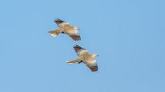 The Perfect Pair! (chandra.nitin) Tags: animal bif bird birds dove doves eurasiancollareddove flying nature newdelhi delhi india