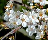 flowering plum, San Bruno Mountain, spring, wildflowers (David McSpadden) Tags: floweringplum sanbrunomountain spring wildflowers