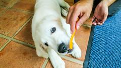 Teeth Cleaning (Mark Rainbird) Tags: dog powershots100 teeth canon retriever uk puppy charlie burghfieldcommon england unitedkingdom gb