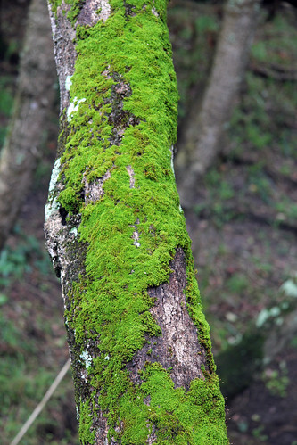 Mossy Tree at Deep Creek Reserve