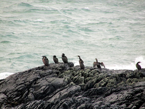Shags at Braich Lwyd