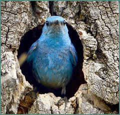 Mountain Bluebird (Aspenbreeze) Tags: mountainbluebird bluebird wildlife wildbird birdintreenest treenest malemountainbluebird nature rural bevzuerlein aspenbreeze moonandbackphotography