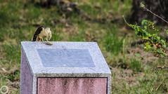 Scavenger (juantamayoperez) Tags: pajaro bird carroñero casando scavenger hunting