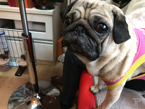 Pug Cafe In Kyoto - Dog Salon Living Room ドッグサロン リビングルーム
