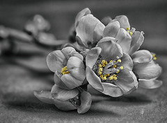 Chaenomeles speciosa - flowering quince in black and white (Jackie L Matthews) Tags: quince chaenomeles speciosa spring macro blackandwhite selectivecolour