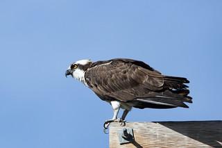 Osprey on edge of nest platform