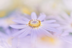 To You Alone (Anna Kwa) Tags: daisy flower macro bokeh art nature annakwa nikon d750 afsvrmicronikko105mmf28gifed my heart wide open always beats foryou seeing soul throughmylens toyoualone tomrosenthal