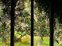 Ventana con jazmín (camus agp) Tags: rejas jazmin malaga españa flores primavera ventana
