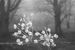 cold (polletjes) Tags: bw black white zwartwit bloemen bos bomen trees wood bois grijs grey ijs ice flowers rijp prikkeldraad thread frozen frost natuur nature
