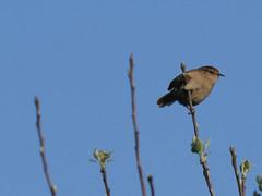 wren (Matt C68) Tags: bird songbird two tree island troglodytes
