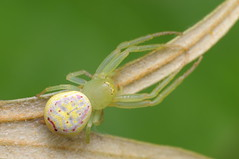 Crab spider (Rundstedt B. Rovillos) Tags: crabspider thomisidae thomisidaefamily spider arachnid arachnids nikond300 nikkor1855mm nikonsb400 reverselensadapter diyflashdiffuser diykfcflashdiffuser kfcdiffuser kfcflashdiffuser kentuckyfriedchickenplasticbucketlid reverselens reverselensmacroshoot onehandmacroshootmethod macro macrophotography straightoutofcamera sooc rundstedtbrovillos