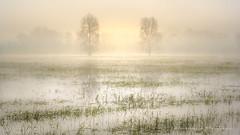 Couleurs du marais (Bertrand Thiéfaine) Tags: maraisdegrée prairieinondée décrue printemps foulque herbe eau arbres matin brume soleil leverdujour d750