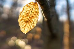 Rokinon 24mm f/1.4 on a Mitakon Zhongyi Lens Turbo II (mangoldm) Tags: leaf beech beechleaf tree trees backlit backlighting samyang rokinon rokinon24mm samyang24mm