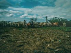 IMG_20161126_095917352 (jjmanjarréz) Tags: landscape paisaje vscofilm cinematiclook cinematicphotography sky nature animals animales finca farmer filmgrain vscocam vsco caribecolombiano colombia fotografíamóvil