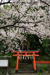 Sakura:Takeisao Jinja Shrine(建勲神社の桜) (Hisa-nori) Tags: shrine sakura kyoto japan