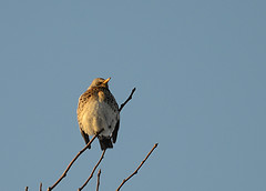 Fieldfare (akk_rus) Tags: 70300mmf4556gvr nikkor70300mmf4556gifedafsvr nikkor 70300mm nikon d800 nikond800 nature bird birds птица природа fieldfare дрозд дроздрябинник turduspilaris