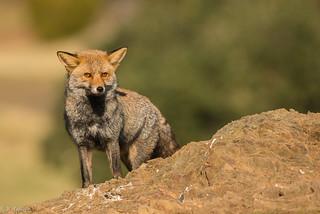Master fox, the survivor