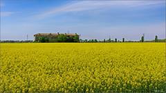 Yellow sea. (valpil58) Tags: colza landscape panorama giallo yellow grado friuli