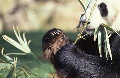 ZOO0479 (Akira Uchiyama) Tags: 動物たちのいろいろ 手 手ジャイアントパンダ