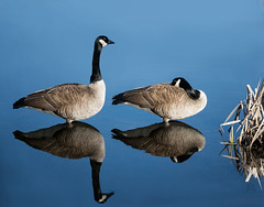 (marianna_a.) Tags: canada geese goose bird reflection water blue mariannaarmata p2240559 2 pair couple