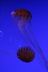 Méduses #3 (Eva.Dbrg) Tags: aquarium larochelle mer ocean jellyfish blue animal
