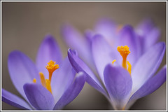 20170402. Crocuc. 3457 (Tiina Gill (busy)) Tags: estonia spring outdoor garden flower flora plant crocus blooming bloom cloudy