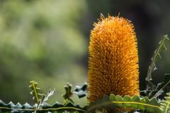 Ashby's Banksia (D'hondt Timothy) Tags: australia kingspark nikond7100 perth tamron16300mm westernaustralia