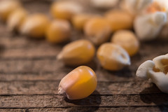 "Macro Monday ""Members Choice: Seed"" (www.higbyphotography.com) Tags: maize popcorn macromondays husky seed yellow corn seeds kernel"
