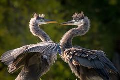 Great Blue Herons, Sarasota County, FL (Blackrock23) Tags: bird wadingbird greatblueheron heron florida nikond500 nikon300mmpf juvenilegreatblueheron nest