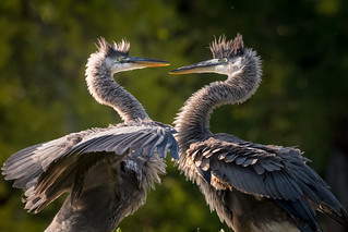 Great Blue Herons, Sarasota County, FL