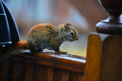 A visitor (jimmy.richard79) Tags: écureuil squirrel