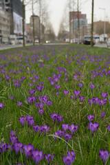 Saturday Self Challenge: Flowers (naturum) Tags: 2017 amsterdam crocus geo:lat=5235361269 geo:lon=491254091 geotagged holland krokus lente nederland netherlands spring voorjaar wibautstraat ssc saturdayselfchallenge noordholland nld
