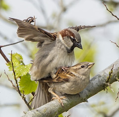 Sparrow mating (Rifa21) Tags: sparrows birds birdphotography mating romance love poetry poem creativewriting wildlife nature spring wild