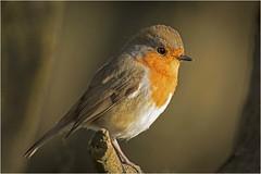 Robin (cconnor124) Tags: robin europeanrobin redbreast gardenbirds smallbirds birdphotography ukbirds backyardbirds backgroundblur feathers carrmilldam naturephotography uknature canon100400lens canon14xconvertor111 canon7dmk11