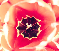 Inner Sanctum (111/365) (iratebadger) Tags: nikon nikond7100 nature nikonphotography natural red bloom flower tulip yellow black pink project365 perspective outside outdoors orange closeup stamen petals iratebadger tamron1024mm lookingdown