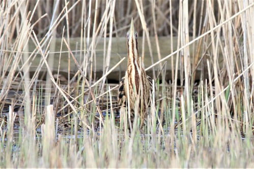 female bittern in its defensive camouflage pose