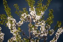 Blühender Kirschbaum vor aufziehender schwarzer Wolkenwand - Blooming cherry tree in front of a dark bank of clouds (riesebusch) Tags: berlin garten marzahn