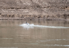 Duck landing (Robert Graham YSLK) Tags: swanhill april24 duck 2017 wildlife feathers river nature water flying splash birds