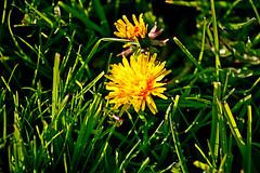 Taraxacum Officinale (tomlok) Tags: taraxacum dandelion löwenzahn