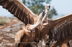 Hide for vultures fully operational! https://wildlifeportugal.pt/en/hide-for-vultures-fully-operational/ #wildlifeportugal #hidephotography #vultures #faiabravareserve #naturephotography #naturetours #portugal #centrodeportugal #birdwatchinginthecenter #b