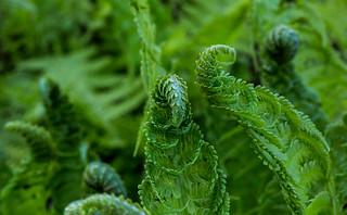 Polypodiopsida / Ferns / Fougères / Farne
