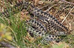 Adder - Male - Vipera berus (wildlife_photo) Tags: vipera berus adder snake reptile cannock staffordshire chase garry smith wildlife wild nature outdoors canon eos flickr